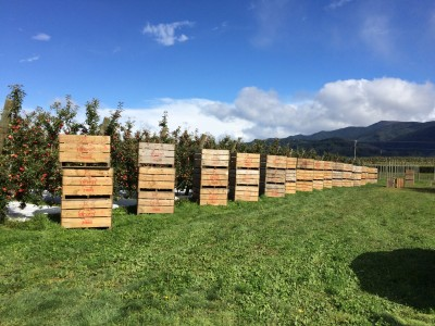 Harvest Picking! Beautiful orchard of non-gmo, sweet Envy™ Apples